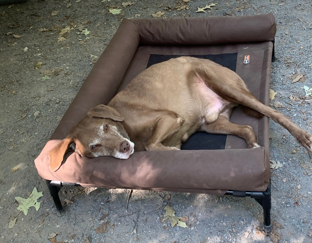 Lounging dog outside on a cot.